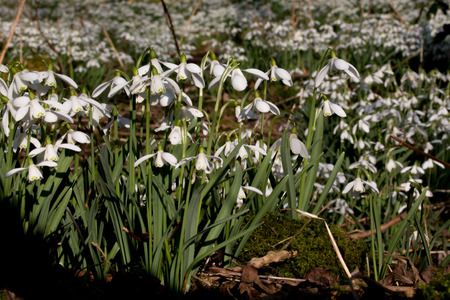 galanthus: Carpet of Common snowdrops Galanthus nivalis  on the edge of the wood Stock Photo