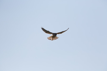 falco: Common Kestrel, Falco tinnunculus, Hovering as it searches for its prey Stock Photo