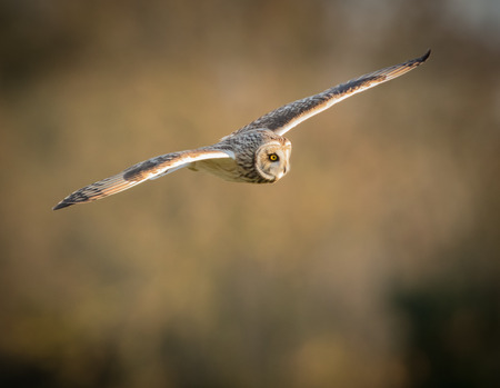 eared: Wild Short eared owl in flight with straight wings (Asio flammeus)