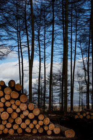 felling: Falling, felling logs in forest, with pile of cut logs and edge of wood with trees and distant views