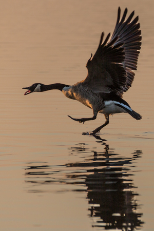 stretched: Canada Goose (Branta canadensis) walking on water, squawking and with wings stretched, in the glow of the sun Stock Photo
