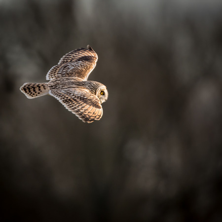 eared: Wild Short eared owl in flight showing the feathers and structure of its wings (Asio flammeus)
