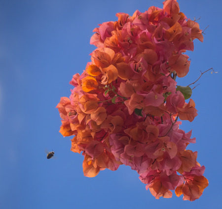 brightly: brightly coloured orange Bougainvillea flowers with bee approaching