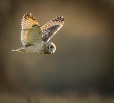 eared: Wild Short eared owl in flight looking forward, wings up(Asio flammeus)