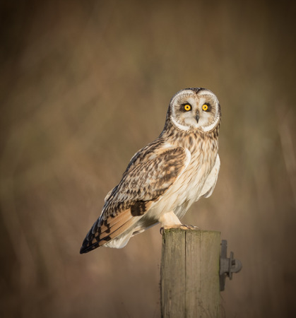 eared: Wild Short eared owl sitting on fence post sitting sideways but staring forwards (Asio flammeus)