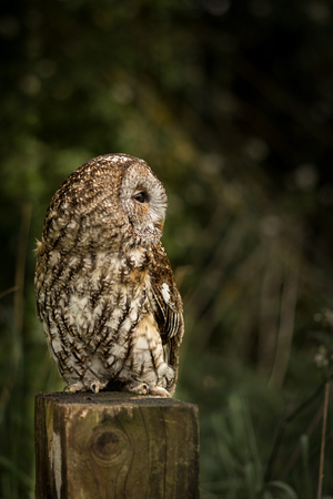 tawny owl: Wild tawny owl sat on fence post at edge of field (Strix aluco)
