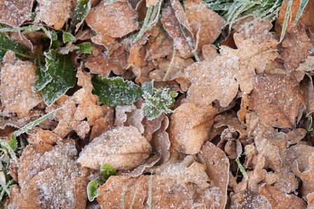 breaking through: Leaves with new growth breaking through coated in frost