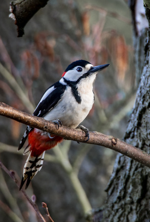dendrocopos: Great Spotted Woodpecker sat on branch (Dendrocopos major) Stock Photo
