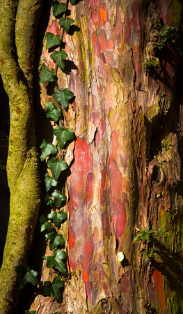 natures: natures natural neon, Bark from yew tree, with ivy growing and glowing in the sunlight.