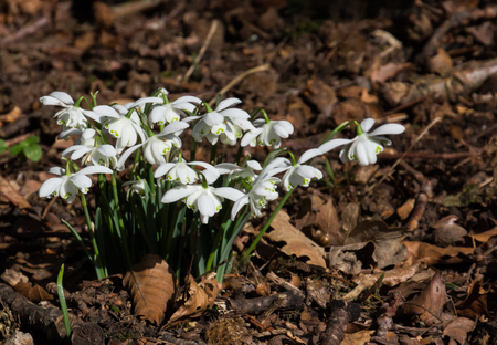 nivalis: Small group of common snowdrops (Galanthus nivalis) growing through golden leaves
