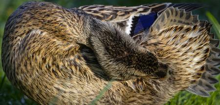 female mallard duck: Detail of female mallard duck preening on bank 1