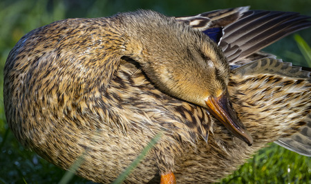 female mallard duck: Detail of female mallard duck preening on bank 3 Stock Photo
