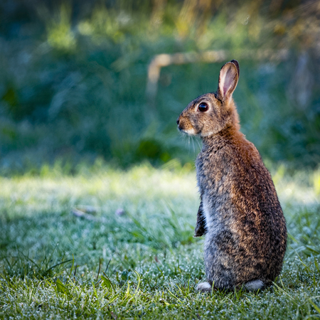 oryctolagus cuniculus: 1 Wild common rabbit (Oryctolagus cuniculus) sitting on hind in a meadow on a frosty morning surrounded by grass and dew Stock Photo