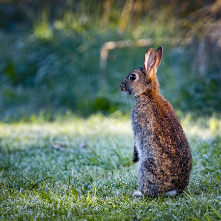 oryctolagus cuniculus: 4 Wild common rabbit (Oryctolagus cuniculus) sitting on hind in a meadow on a frosty morning surrounded by grass and dew