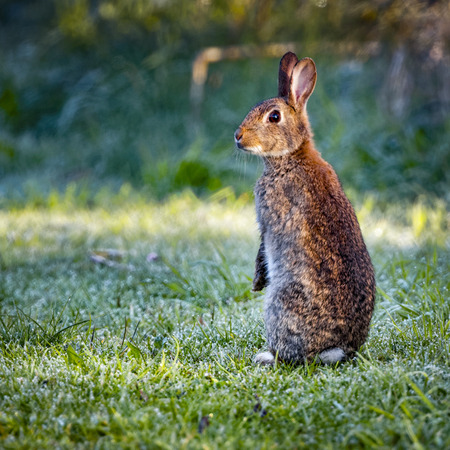 oryctolagus cuniculus: 3 Wild common rabbit (Oryctolagus cuniculus) sitting on hind in a meadow on a frosty morning surrounded by grass and dew