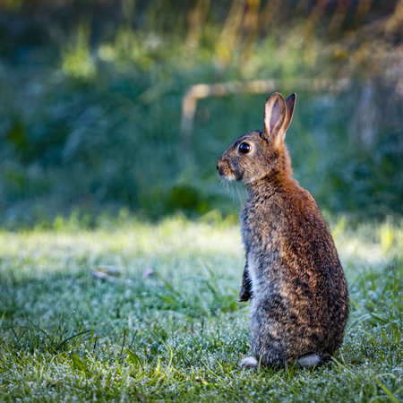 oryctolagus cuniculus: 2 Wild common rabbit (Oryctolagus cuniculus) sitting on hind in a meadow on a frosty morning surrounded by grass and dew Stock Photo