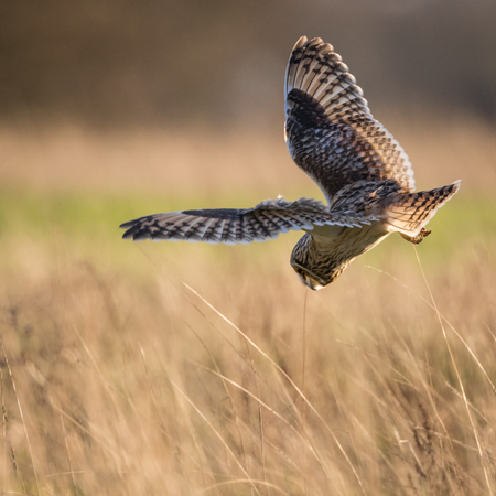 eared: Wild Short eared owl stops in flight and drops to dive on prey (Asio flammeus)