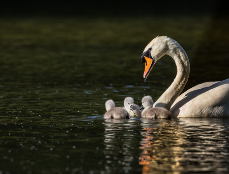 family unit: Swan with three cygnets in a family unit Stock Photo