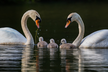 family unit: pair of swans with three cygnets in a family unit