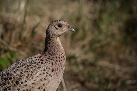 game bird: wild game bird, female pheasant (phasianus colchicus) 1