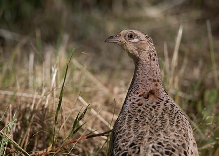 game bird: wild game bird, female pheasant (phasianus colchicus) 2