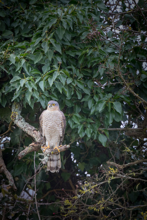 sparrowhawk: Wild sparrowhawk caught sitting on branch in tree looking for prey