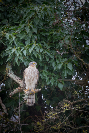 sparrowhawk: Wild sparrowhawk caught sitting on branch in tree