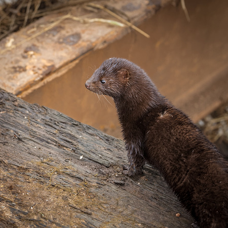 subaquatic: Wild american mink hunting for food early morning