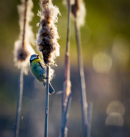 bullrush: Blue tit helping with seed dispersal on a bulrush in morning sun
