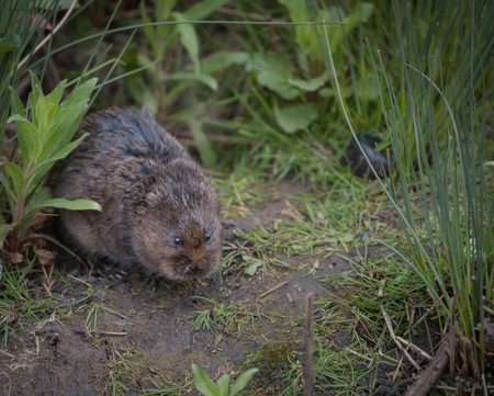 vole: water vole sitting on the river bank