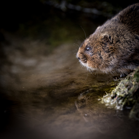 burrows: Close up of wild Water vole sitting on waters edge with reflection