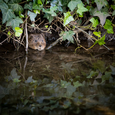 vole: Wild Water vole peeping from burrow in ivy