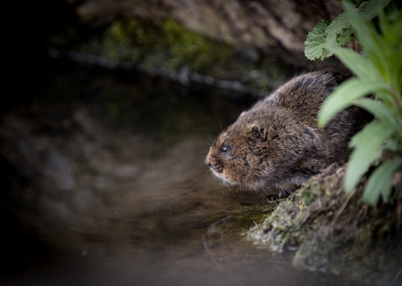vole: Water vole sitting on waters edge with reflection