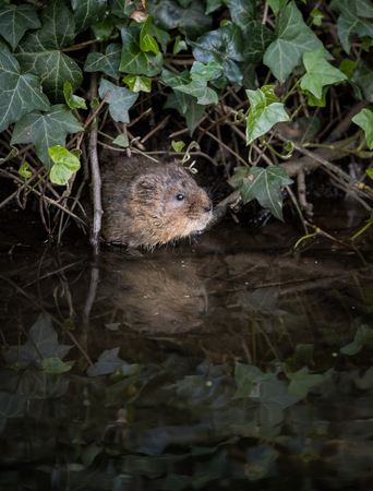 vole: Wild Water vole emerging from burrow in ivy