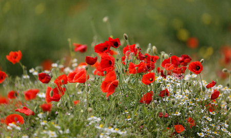 group of wild poppies and wild daisies