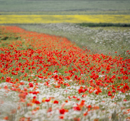 fields of poppies, wildflowers, hedge parsley,crops. British summer patchwork