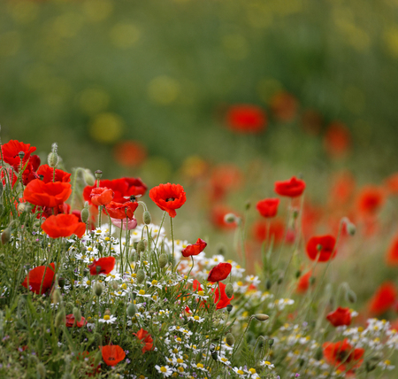 poppy field with bee  close group of poppies mixed with wild daisies, oil seed rape and hedge parsley 版權商用圖片