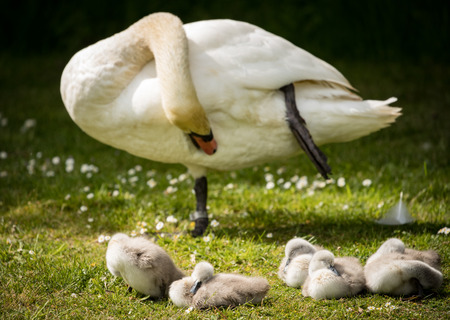 Adult swan preening whilst cygnets snooze on river bank