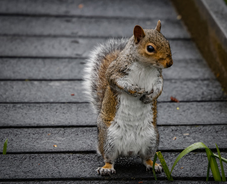 blocking: Squirrel standing on pathway, scratching chest and blocking the way