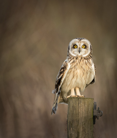 fence post: Wild Short eared owl sitting on fence post and looking into the picture (Asio flammeus) Stock Photo