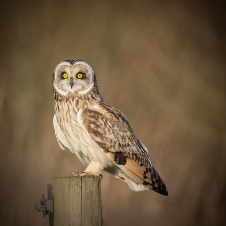 Wild Short eared owl sitting on fence post and staring forwards (Asio flammeus)