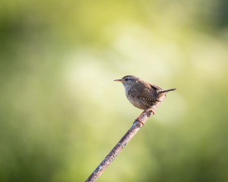 metal post: Wild wren set on metal post with green background (Troglodytes troglodytes)