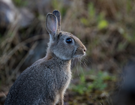 oryctolagus cuniculus: Young wild common rabbit (Oryctolagus cuniculus) sitting and alert in a meadow on a frosty morning with dew Stock Photo