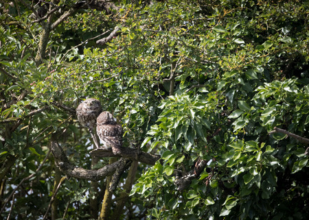 Pair of wild little owls looking around and at sky (Athene noctua) 版權商用圖片