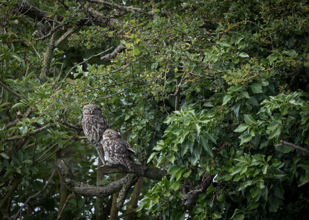 Pair of wild little owls looking forward and up (Athene noctua)