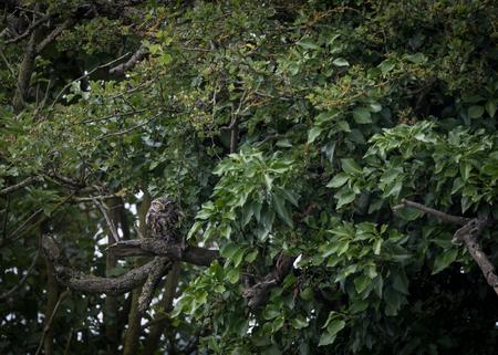 preen: young wild little owl staring at predator (Athene noctua) Stock Photo