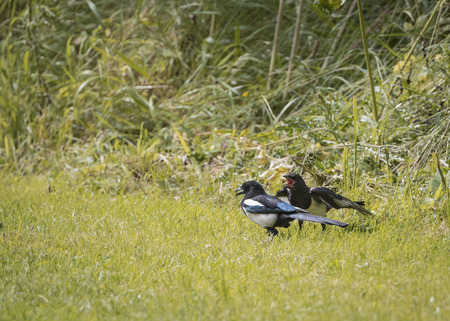 pica: Magpie feeding young (Pica Pica) Stock Photo