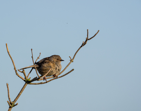 Dunnock perched in isolation on a windy day (Prunella modularis)