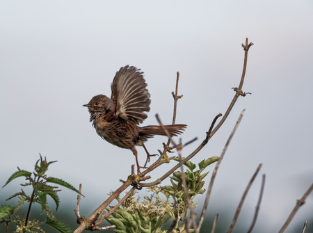 Dunnock taking to flight on a windy day (Prunella modularis) 版權商用圖片