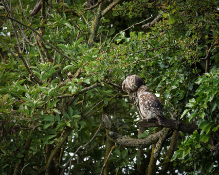 Pair of wild little owls preening each other (Athene noctua) 版權商用圖片